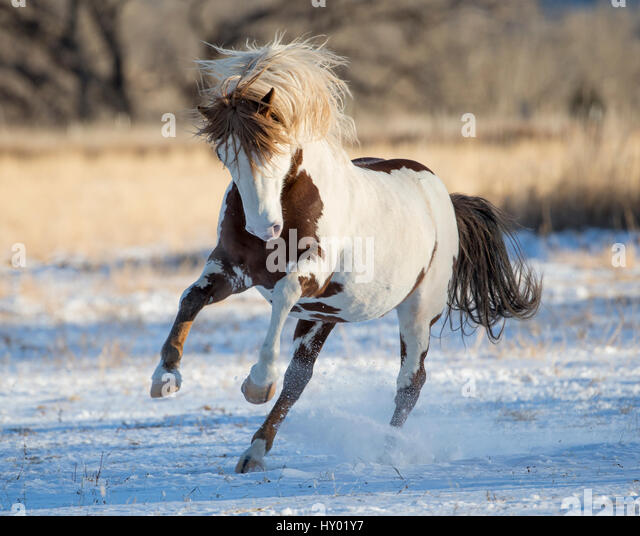 Mustang Horse Running Stock Photos & Mustang Horse Running ...