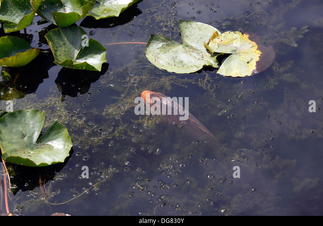 Koi carp uk stock photos koi carp uk stock images alamy for Koi pool water gardens poulton