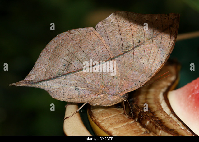 Indian Leaf Butterfly Stock Photos & Indian Leaf Butterfly