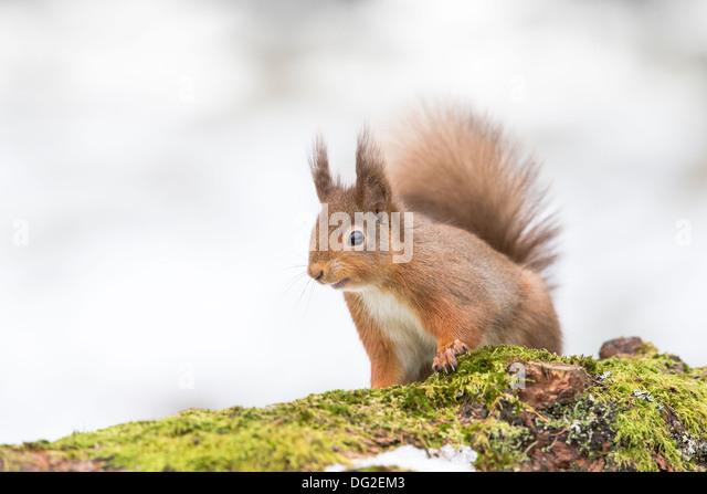 red squirrel in snow red squirrel in snow pine stock photos red squirrel in snow pine