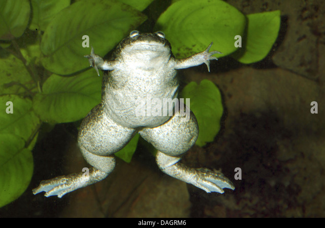 laevis pipidae south america western clawed frog xenopus tropicalis ...
