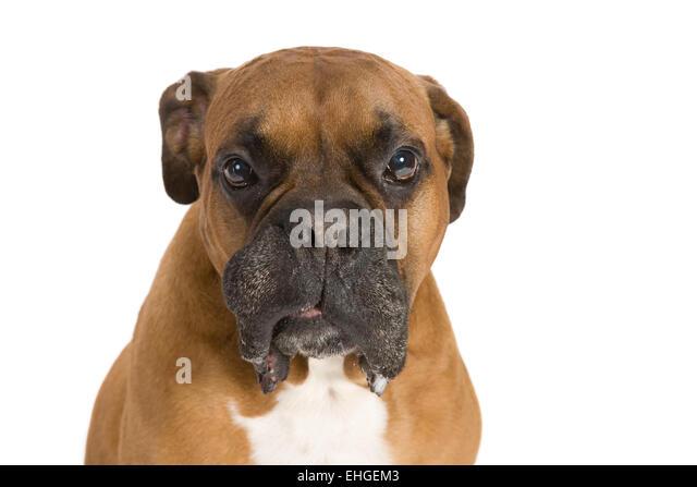 Angry boxer dog teeth - photo#27