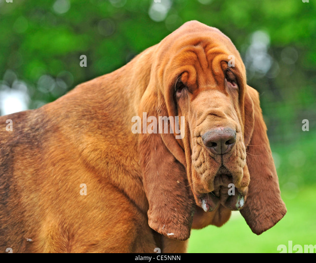 Dog With Droopy Face Breed