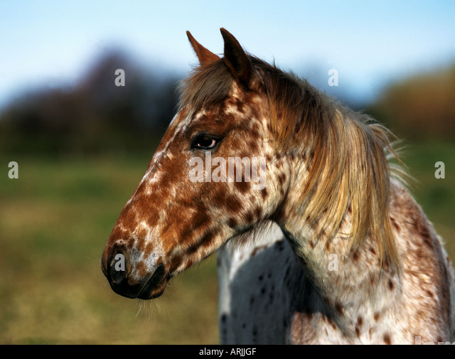 Appaloosa Horse Head Stock Photo, Picture And Royalty Free Image ...