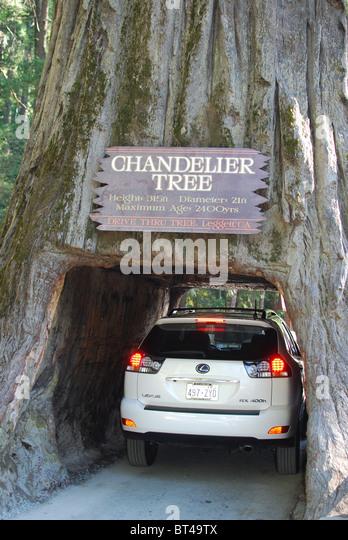 Chandelier Tree Redwood Stock Photos & Chandelier Tree Redwood ...