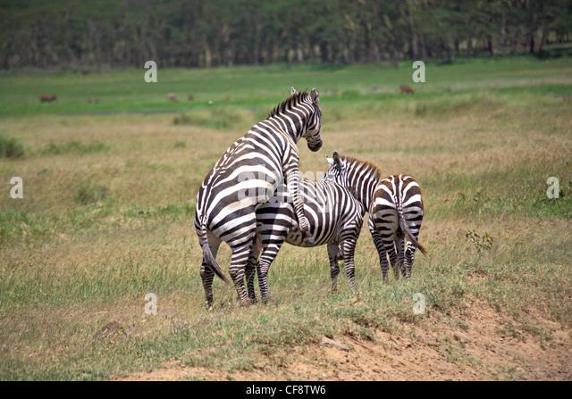 Zebra Mating Stock Photos & Zebra Mating Stock Images - Alamy