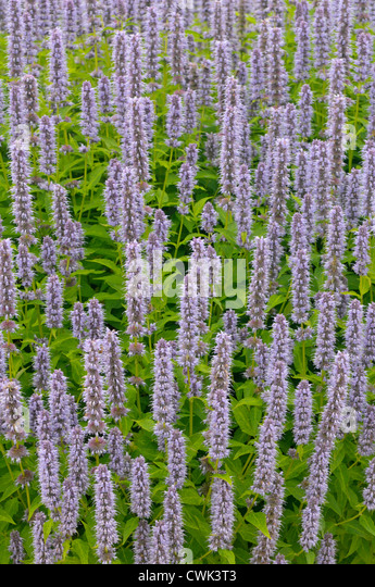 giant hyssop blue fortune - photo #13