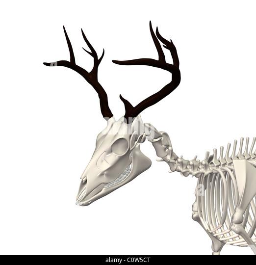Red deer anatomy