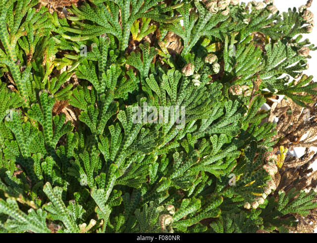 rose of jericho stock photos rose of jericho stock images alamy. Black Bedroom Furniture Sets. Home Design Ideas