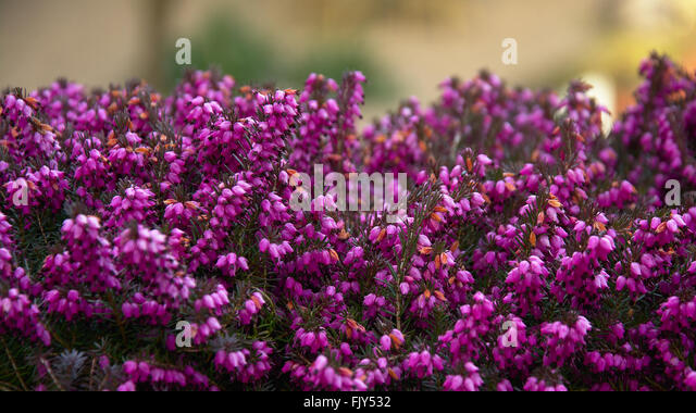 little purple flowers stock photos  little purple flowers stock, Beautiful flower