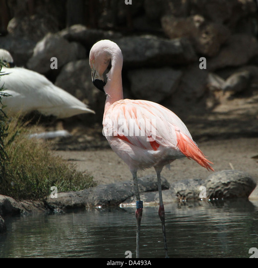 Greater flamingos spain stock photos greater flamingos - Bioparc de valencia ...