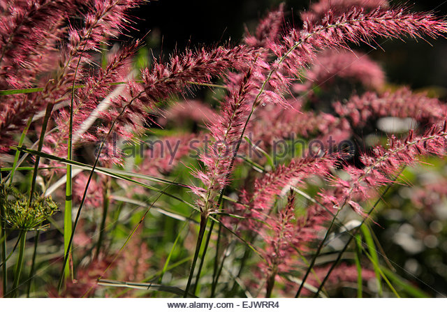 pennisetum karley rose stock photos pennisetum karley rose stock images alamy. Black Bedroom Furniture Sets. Home Design Ideas
