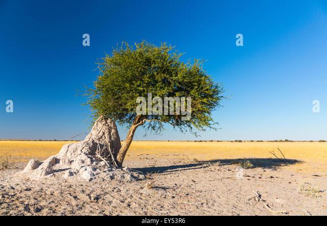 Mahogany seeds against termites