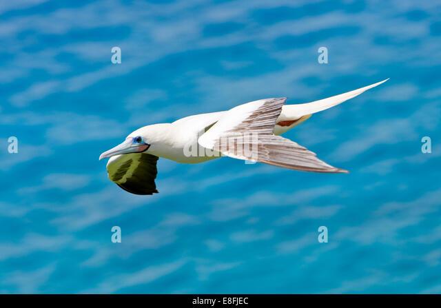 Rota Northern Mariana  city photos gallery : Northern Mariana Islands, Rota Municipality, Rota, Bird in flight ...