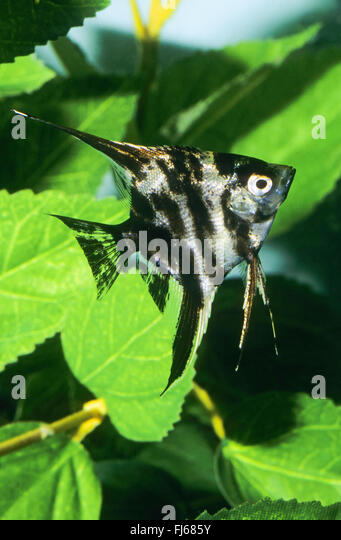Angel fish stock photos angel fish stock images alamy for Freshwater angel fish