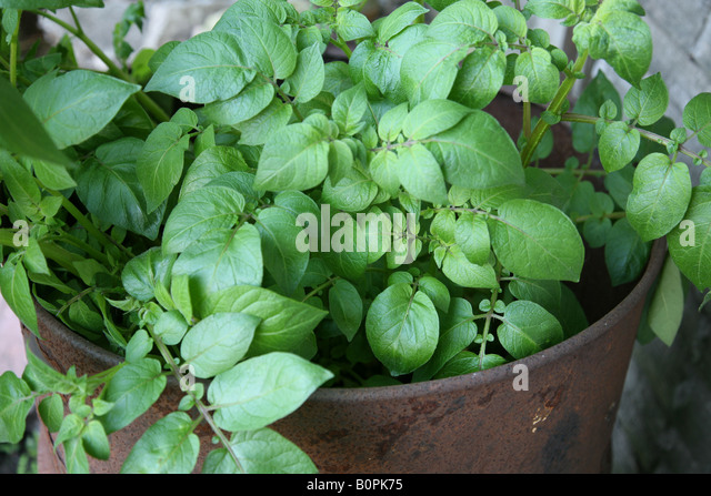 how to grow sweet potatoes in a large pot