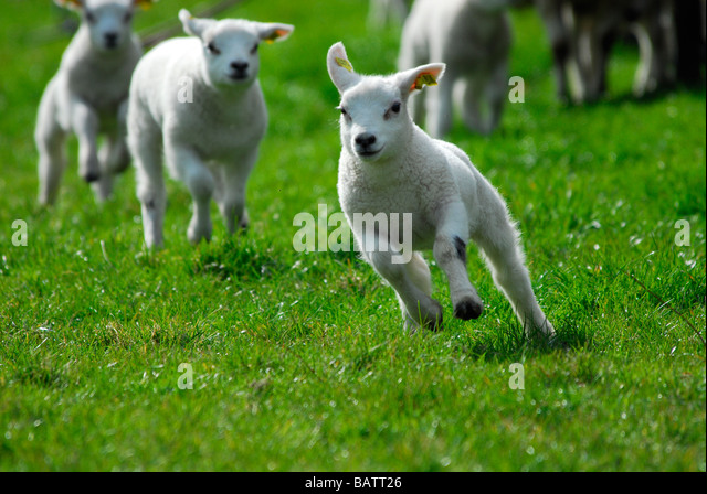 Cute Lambs Running And Jumping In Spring The Netherlands