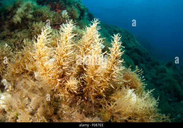 sargassum-algae