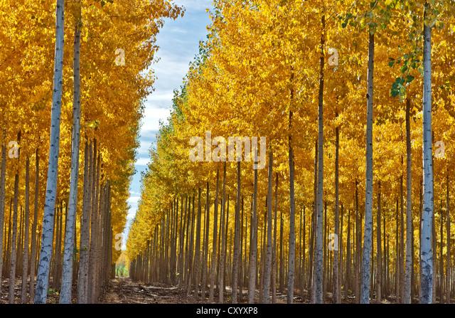 how to start hybrid poplar trees