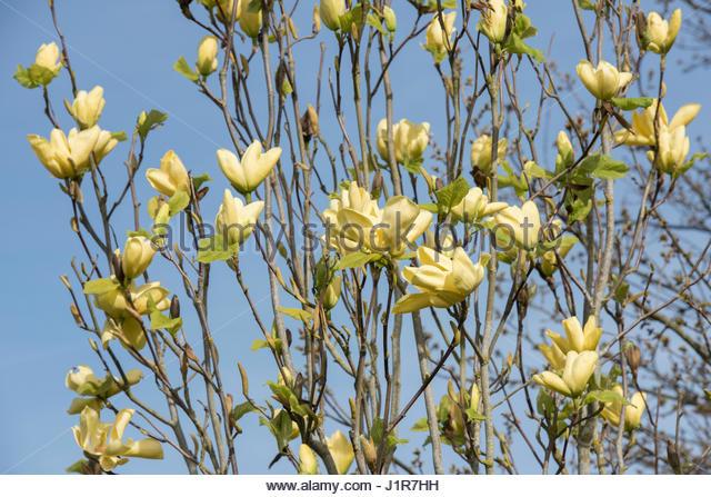 Magnolia acuminata honey liz stock photos magnolia acuminata honey magnolia acuminata honey liz flowers in april yellow flowering magnolias stock image mightylinksfo Gallery