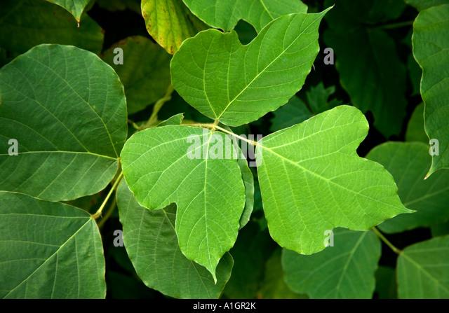 Kudzu Plant Stock Photos & Kudzu Plant Stock Images - Alamy  Kudzu Plant Sto...