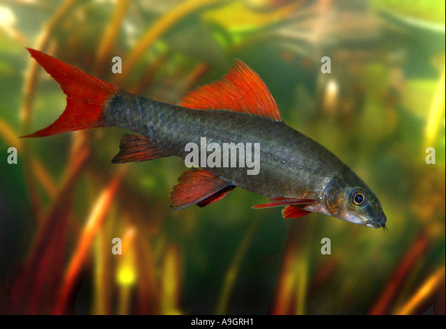Labeo stock photos labeo stock images alamy for Red tail shark fish