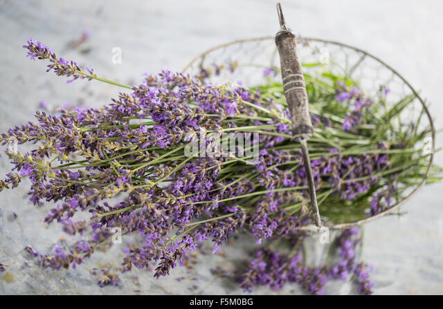 true lavender stock photos true lavender stock images. Black Bedroom Furniture Sets. Home Design Ideas