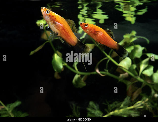 Xiphophorus maculatus stock photos xiphophorus maculatus for Platy fish breeding