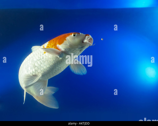 Coy carp water stock photos coy carp water stock images for What to feed koi carp