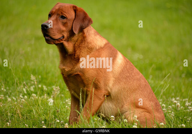 Fox Red Lab Dog