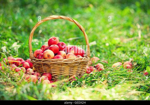 green and red apples in basket. basket with red apples on the grass in garden - stock image green and l