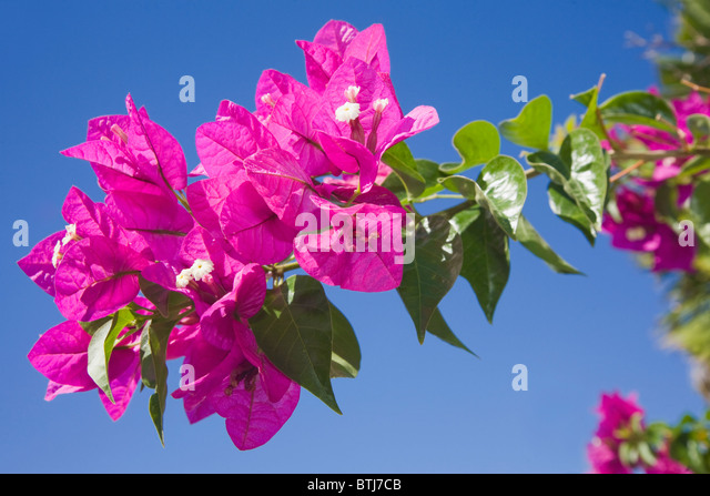 Bougainvillea Glabra Stock Photos & Bougainvillea Glabra ...