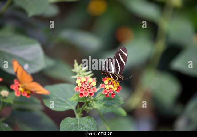 New York City, Bronx Zoo, Butterfly Garden   Stock Image