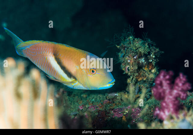 rock wrasse stock photos rock wrasse stock images alamy. Black Bedroom Furniture Sets. Home Design Ideas