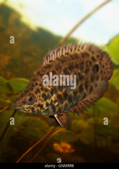 bush haircut spotted climbing perch stock photos amp spotted climbing 4508