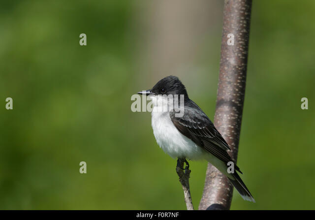 Tyrannus tyrannus stock photos tyrannus tyrannus stock images eastern kingbird tyrannus tyrannus ontario canada bi027185 stock image thecheapjerseys Image collections