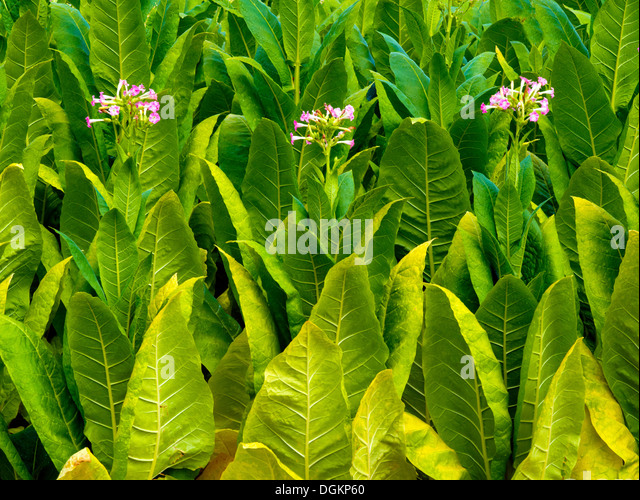 tobacco leaf Tobacco is a product prepared from the leaves of the tobacco plant by curing them the plant is part of the genus nicotiana and of the solanaceae (nightshade) family while more than 70 species of tobacco are known, the chief commercial crop is n tabacumthe more potent variant n rustica is also used around the world tobacco contains the alkaloid nicotine, which is a stimulant, and harmala.