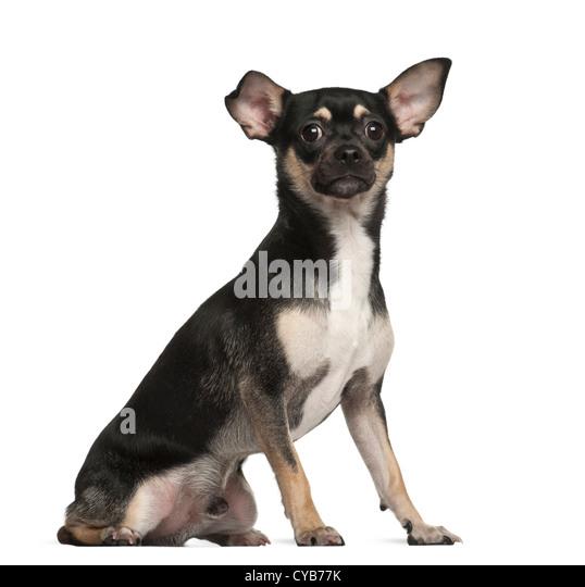 Chihuahua 9 Months Black And Tan Chihuahu...