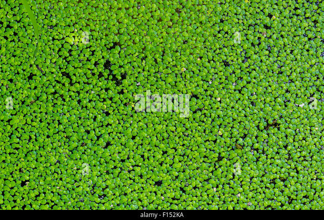 Duck and cover stock photos duck and cover stock images for Garden pool duckweed