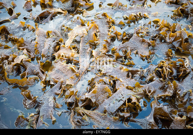 Laminaria algae in water at low tide with many stalks and leaves - Stock Image & Laminaria Stock Photos u0026 Laminaria Stock Images - Alamy