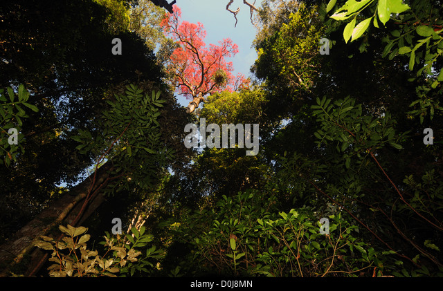 Flame kurrajong tree flowering in rainforest canopy Binna Burra Lamington National Park Queensland & Canopy Flower Rainforest Stock Photos u0026 Canopy Flower Rainforest ...