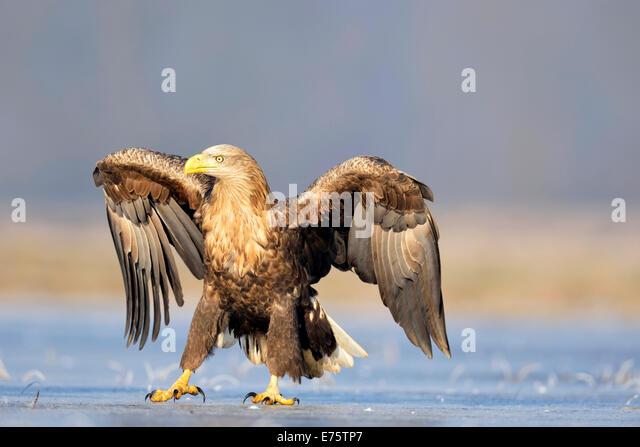 Open Eagle Stock Photos & Open Eagle Stock Images - Alamy