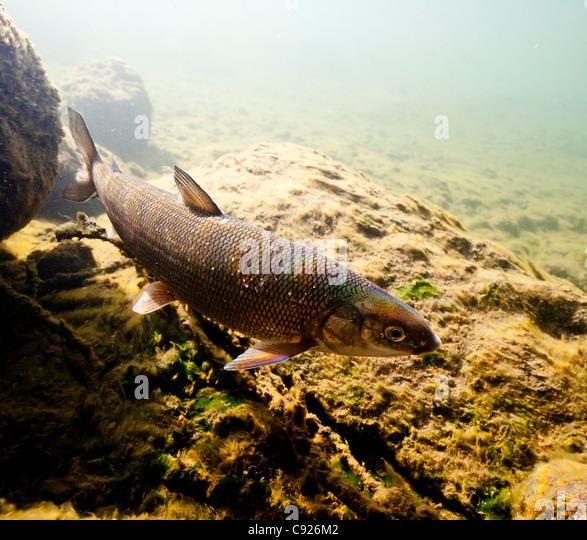 Gulkana river stock photos gulkana river stock images for Alaskan white fish