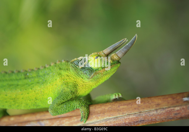 Male jackson chameleon - photo#23