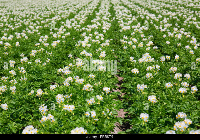 Solanum Tuberosum Stock Photos & Solanum Tuberosum Stock ...