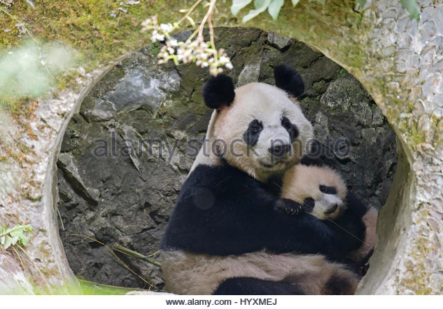 an analysis of the china conservation and research centre for the giant panda in wolong Ecological degradation in protected areas: 3chinaÕs center for giant panda research and con- (american of wolong et al,, (, conservation,.