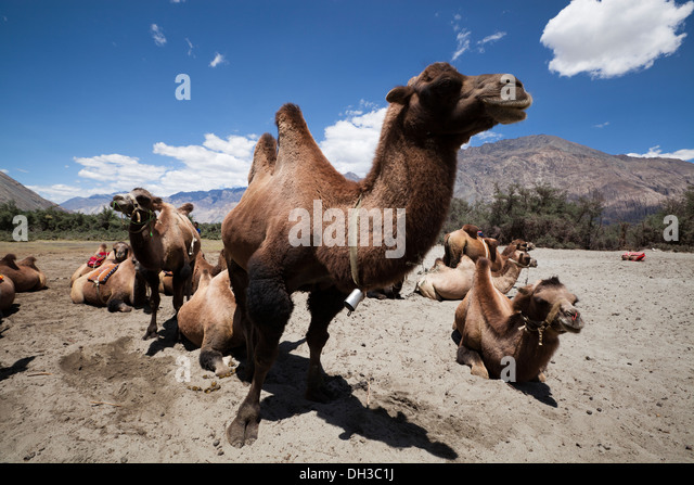 Two Humped Bactrian Camels Hunder Nubrah Valley Ladakh Northern India