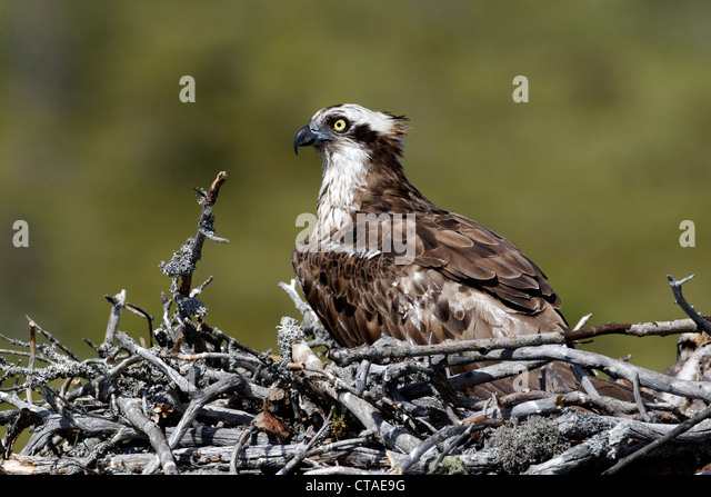 osprey divorced singles Get the latest international news and world events from asia, europe, the middle east, and more see world news photos and videos at abcnewscom.