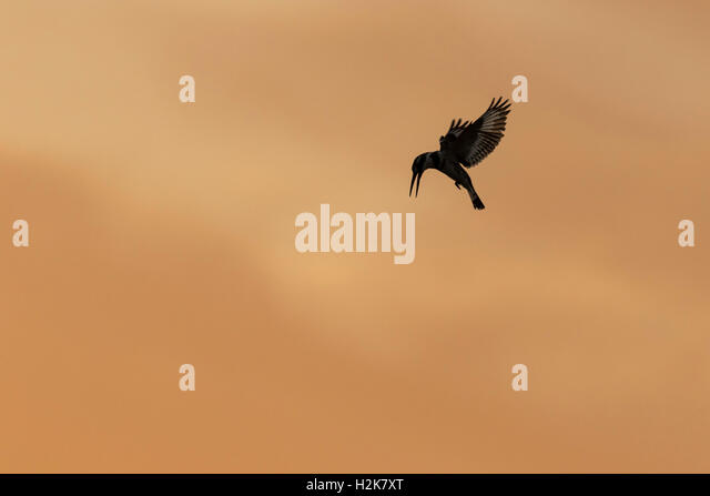 silhouette of pied kingfisher ceryle rudis hovering against orange sky eilat israel stock