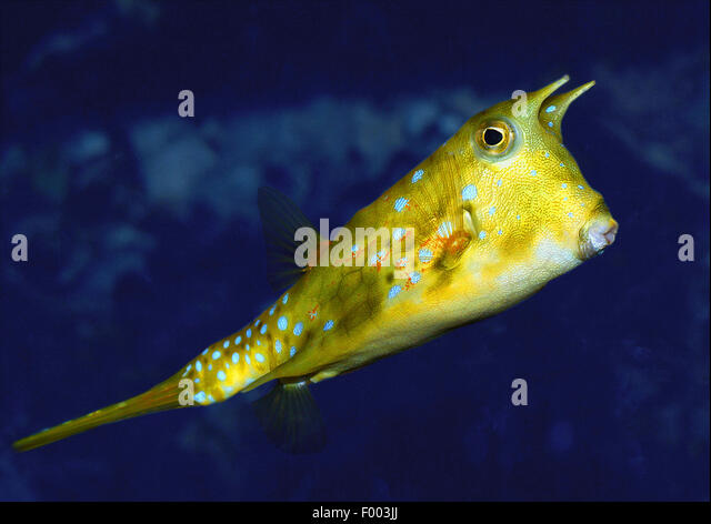 longhorn cowfish lactoria cornuta swimming stock image